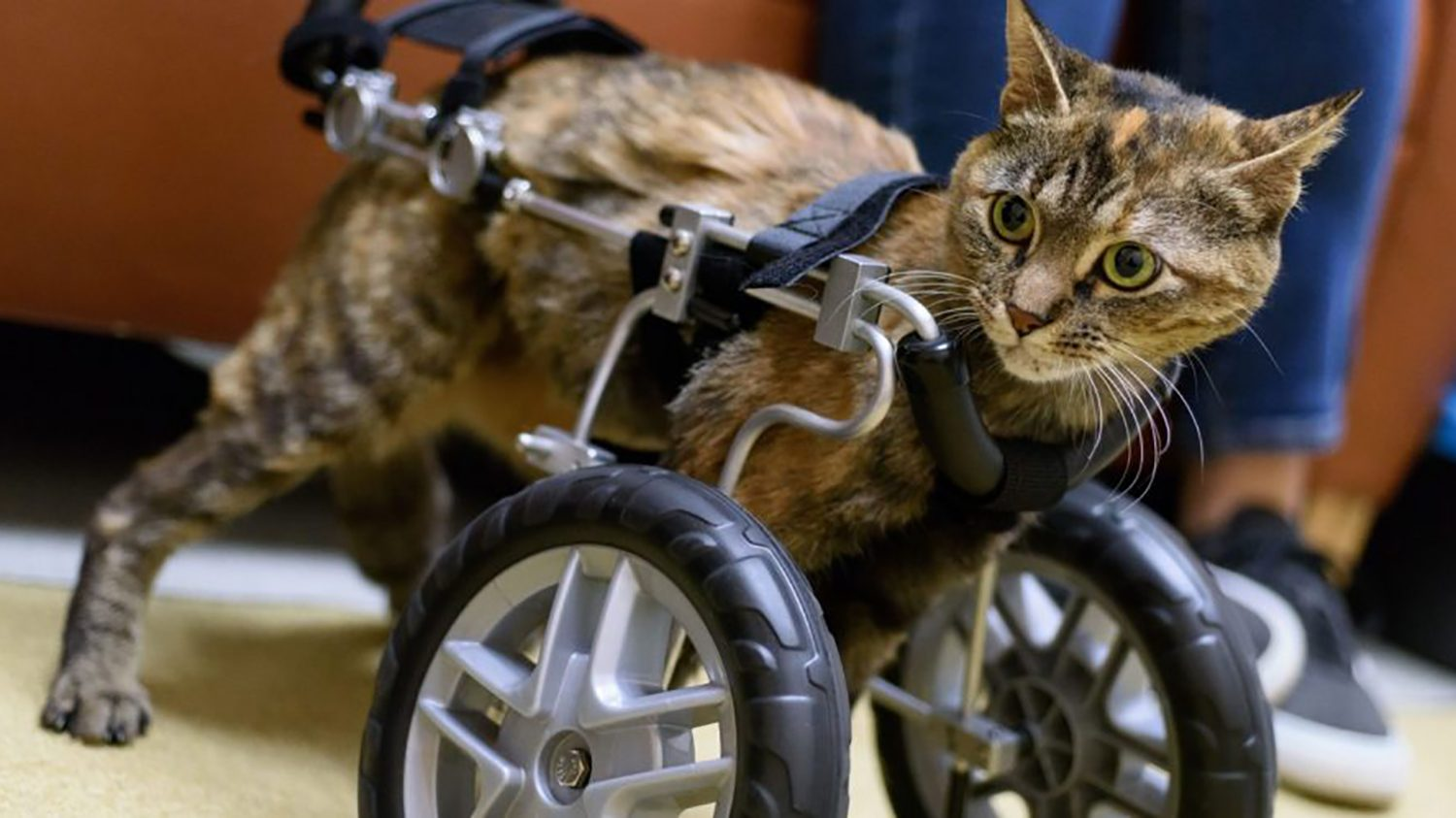 Cat in wheel cart without front legs
