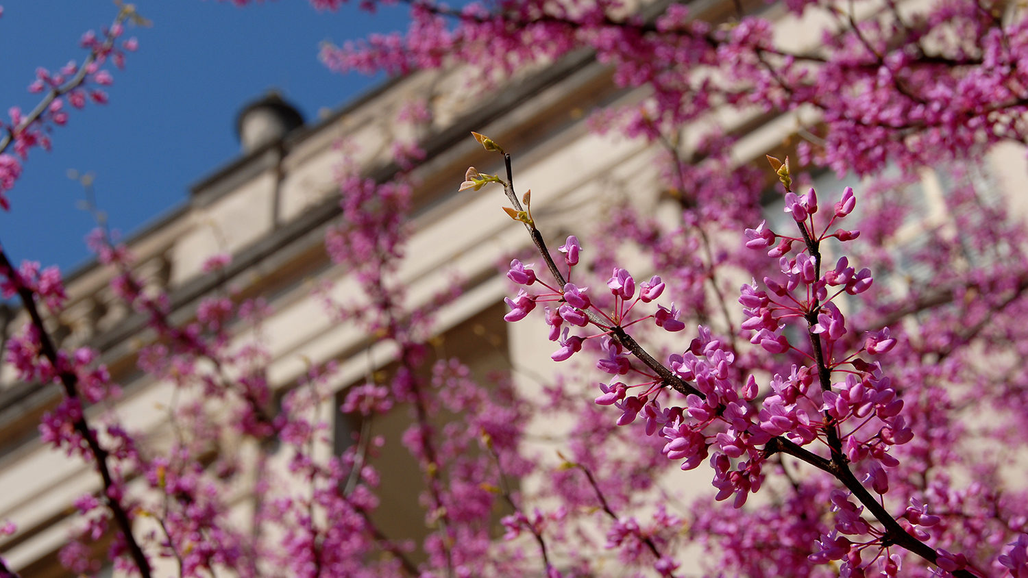 Blossoms in front of Polk Hall on a sunny Spring day.