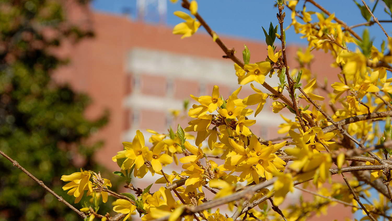 spring blossoms at NC State