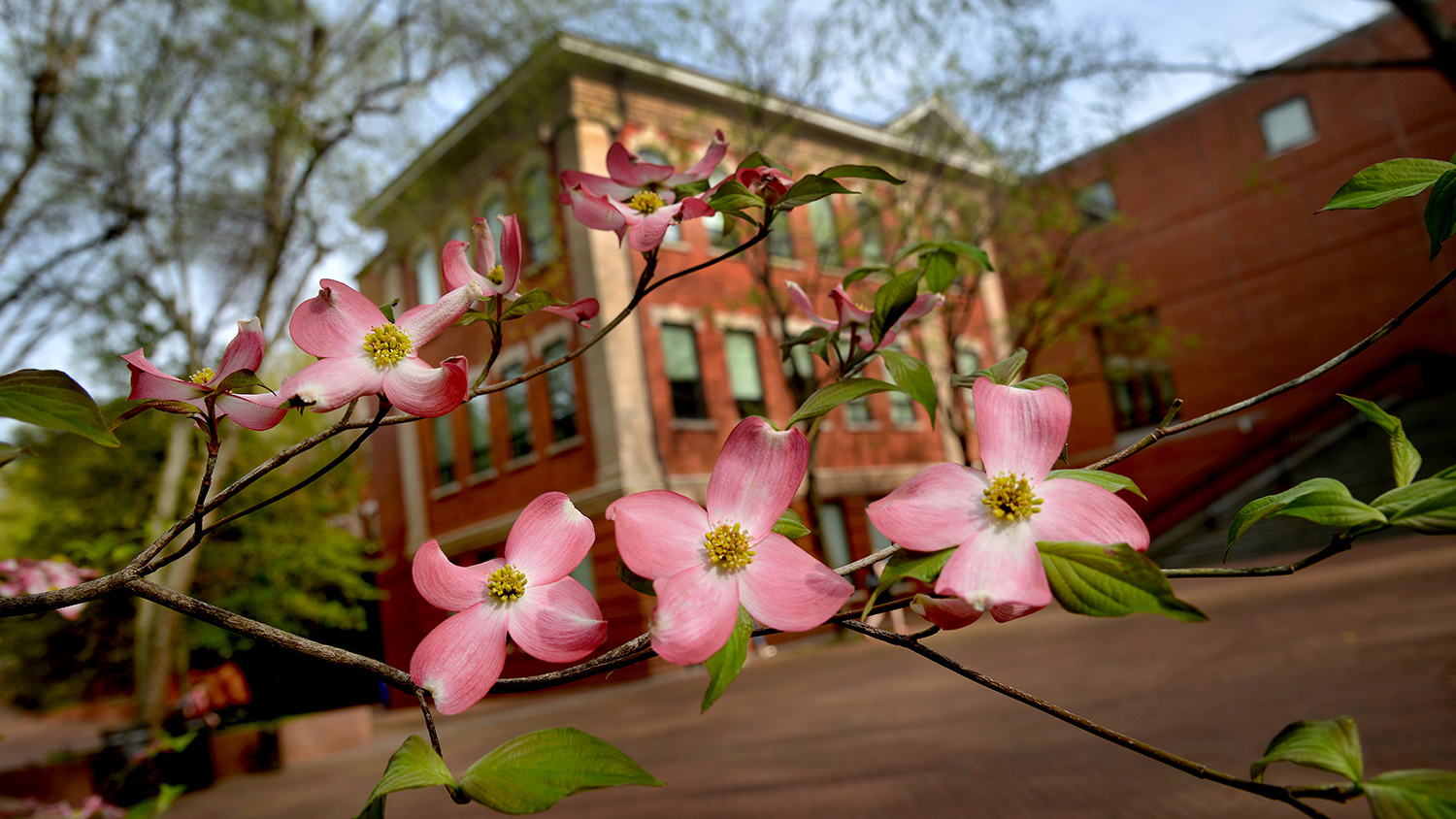 Dogwood in bloom outside Winston Hall.